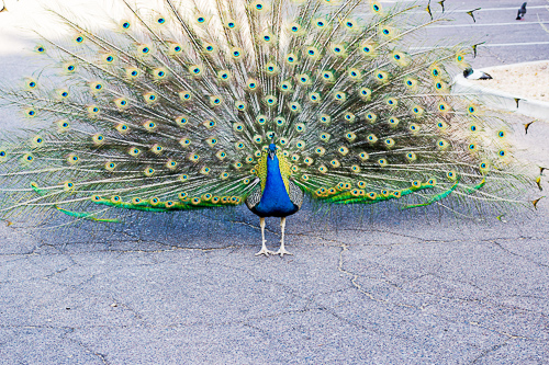 if i were a peacock